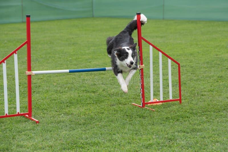 Border collie criado en línea pura del perro que salta sobre obstáculo en los comp de la agilidad fotografía de archivo libre de regalías