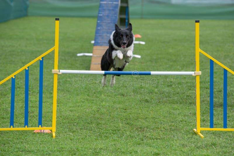 Border collie criado en línea pura del perro que salta sobre obstáculo en los comp de la agilidad foto de archivo