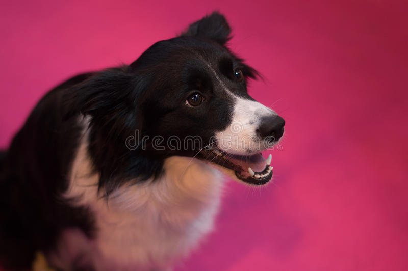 Border Collie at CRUFTS stock photo