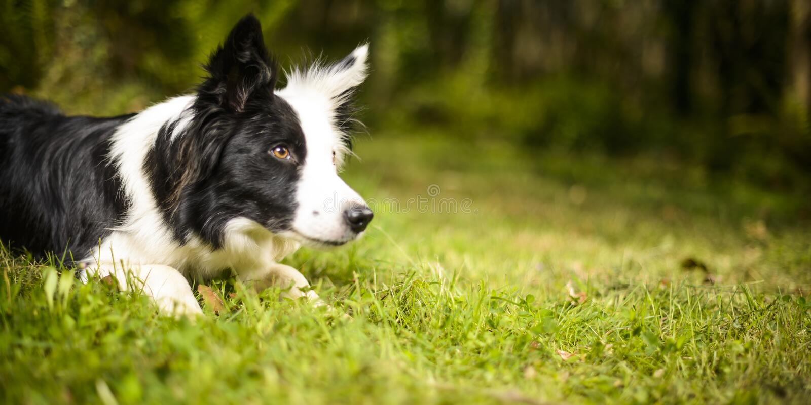 Border collie dans le buisson photos libres de droits