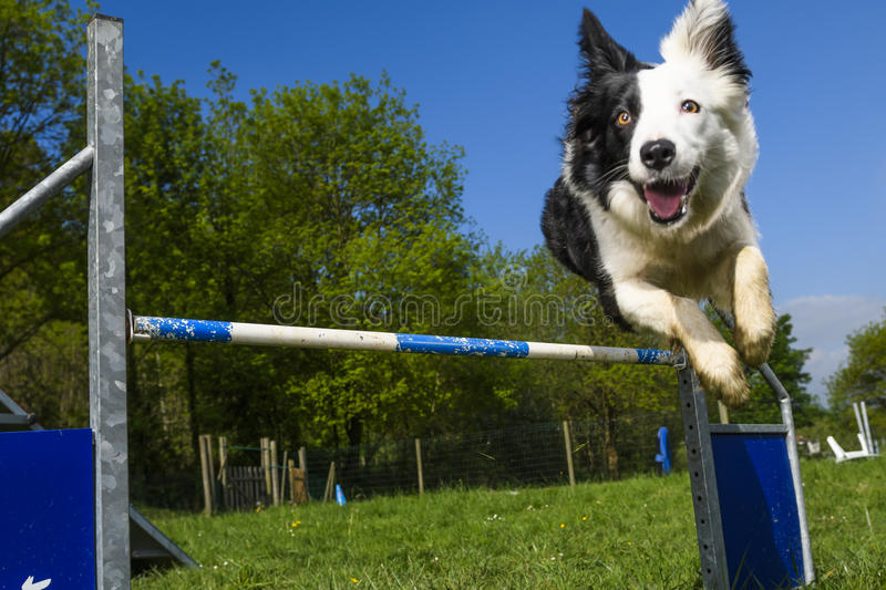 Border collie dans le sport de l'agilité photo libre de droits