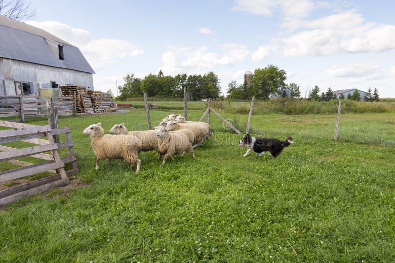 Border collie, das mit intensivem Ausdruck laufen und Zunge, die heraus nach Gruppe Schafen hängt stockfotos