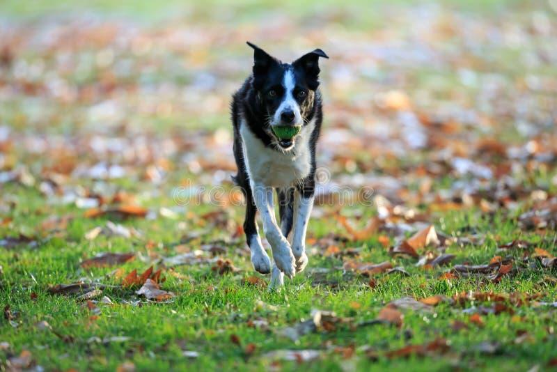 Border collie, das Reichweite im Park im Herbst spielt lizenzfreies stockfoto