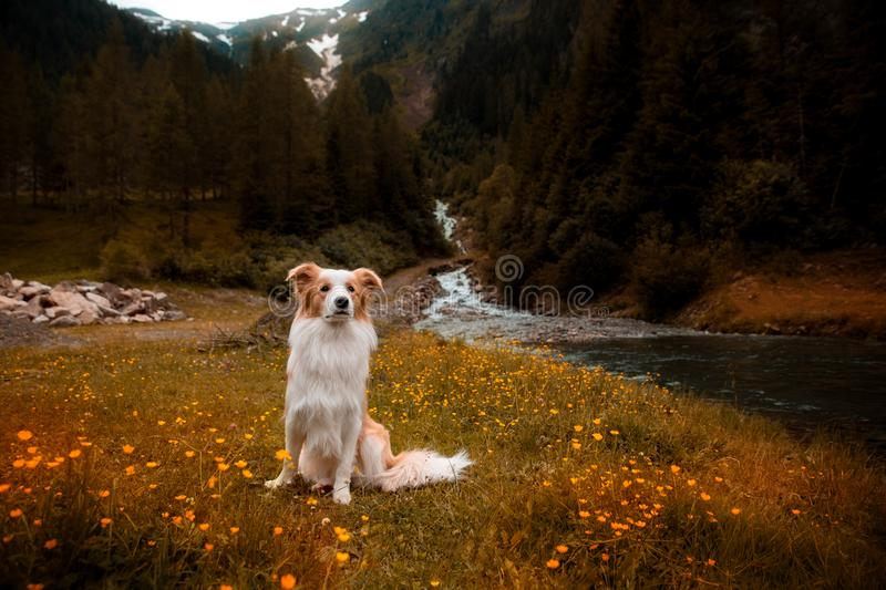 Border collie in de Bergen dichtbij de waterval royalty-vrije stock fotografie