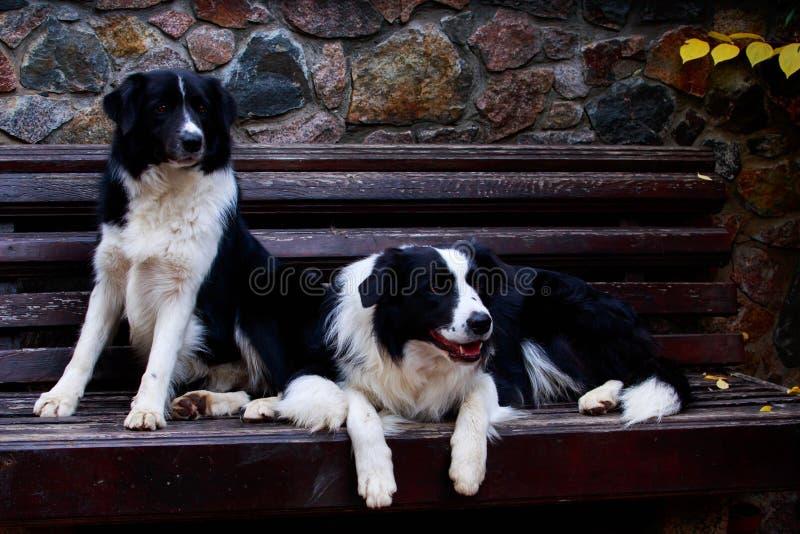 Border collie de dos perros imagen de archivo