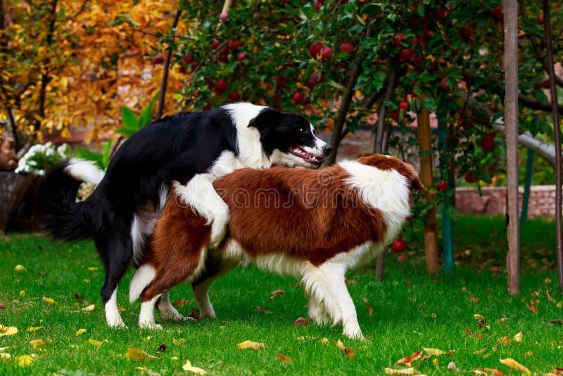 Border collie de dos perros fotos de archivo