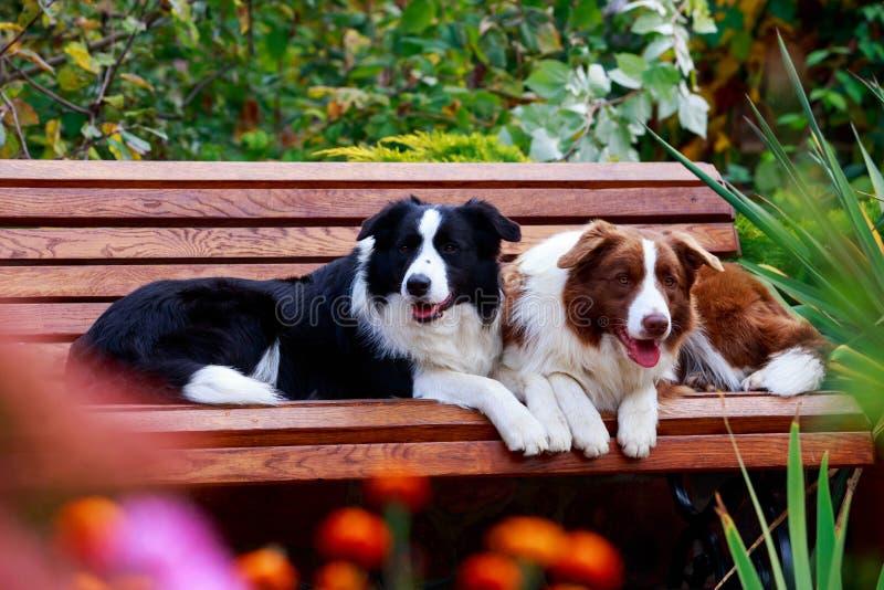 Border collie de dos perros fotografía de archivo