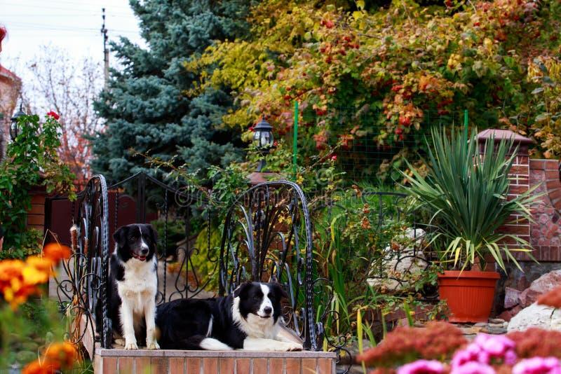 Border collie de dos perros imagen de archivo libre de regalías