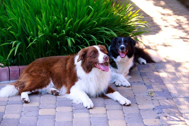 Border collie de dos perros fotografía de archivo libre de regalías