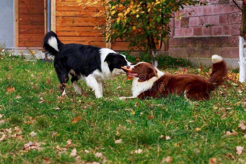 Border collie de dos perros imagenes de archivo