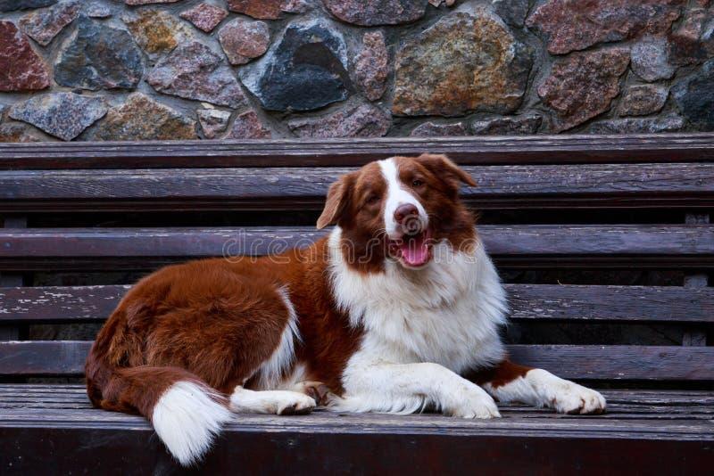 Border collie de la raza del perro imágenes de archivo libres de regalías