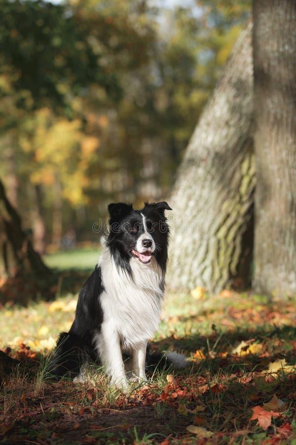 Border collie de la raza del perro foto de archivo