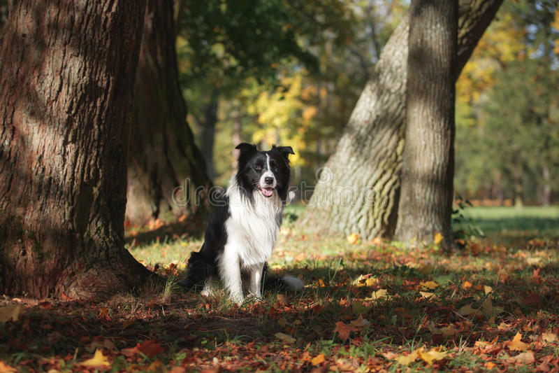 Border collie de la raza del perro fotografía de archivo libre de regalías