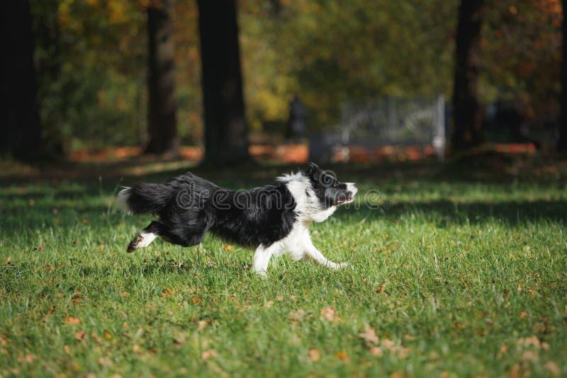 Border collie de la raza del perro foto de archivo libre de regalías