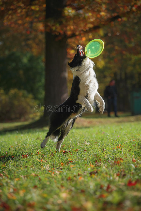 Border collie de la raza del perro fotografía de archivo