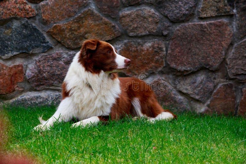 Border collie de la raza del perro fotos de archivo libres de regalías