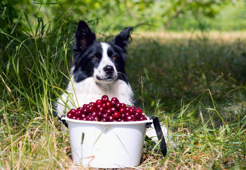 Border collie de la raza del perro que miente en la hierba cerca de un cubo de cerezas foto de archivo libre de regalías