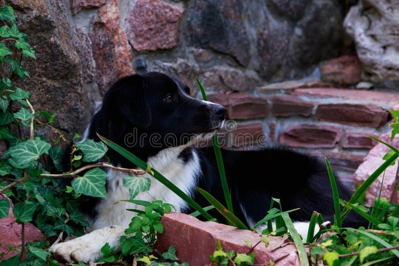 Border collie de la raza del perro fotos de archivo