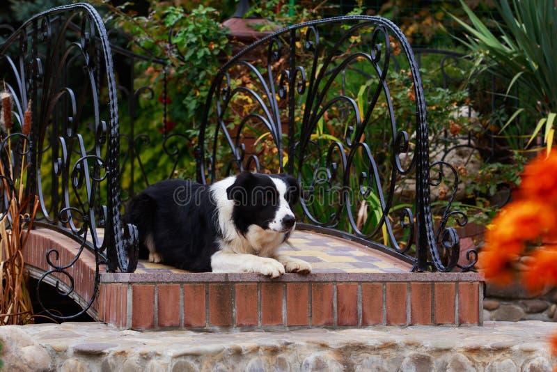 Border collie de la raza del perro imagen de archivo