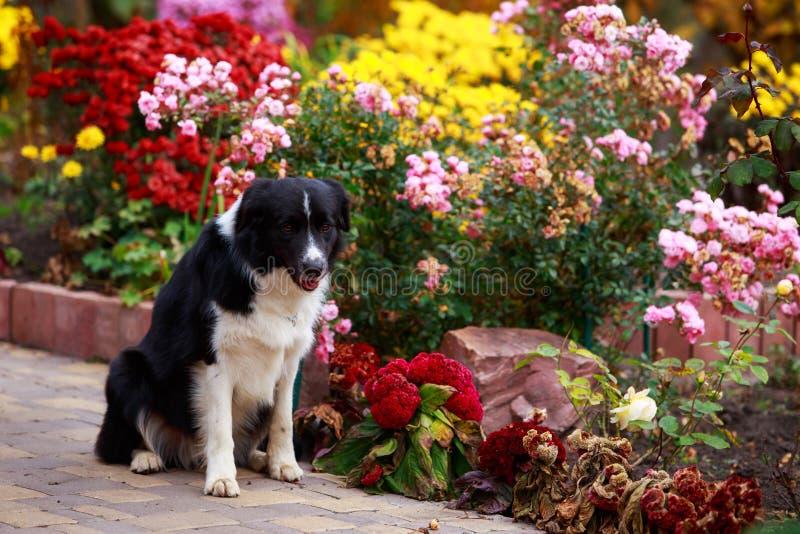 Border collie de la raza del perro imagenes de archivo