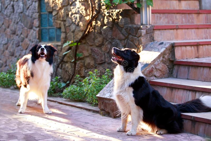 Border collie de la raza de dos perros fotografía de archivo