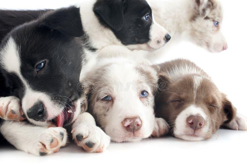 Border collie de los perritos fotografía de archivo libre de regalías