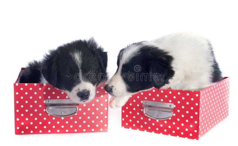 Border collie de los perritos en una caja imágenes de archivo libres de regalías