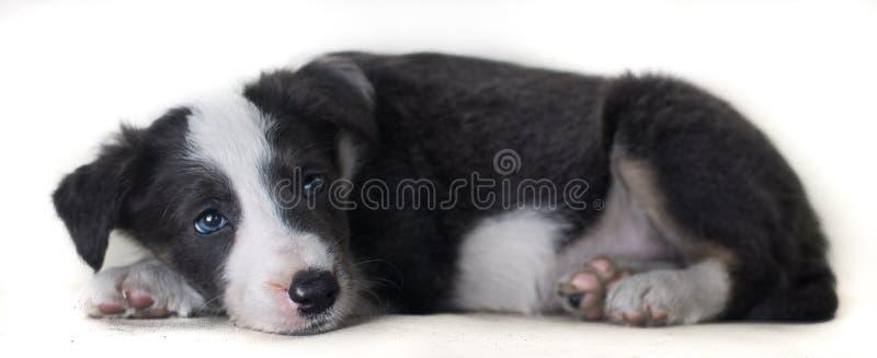 Border collie de mentira del perro adorable y feliz en el bakcground blanco, pensando en algo foto de archivo libre de regalías