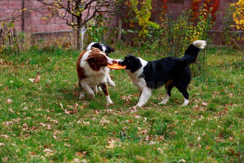 Border collie de tres perros foto de archivo libre de regalías