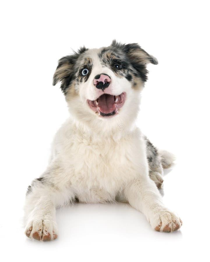 Border collie del perrito imagen de archivo libre de regalías