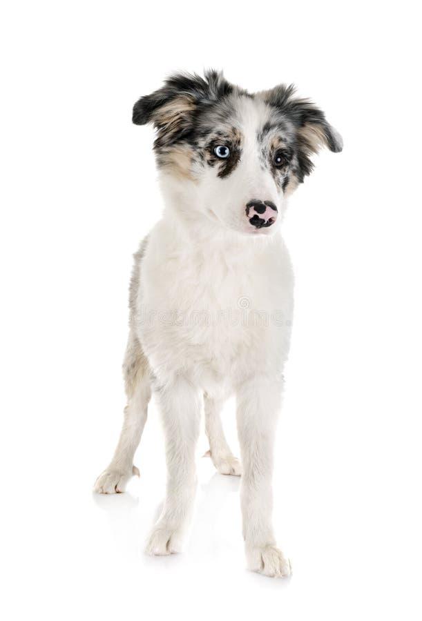 Border collie del perrito fotografía de archivo