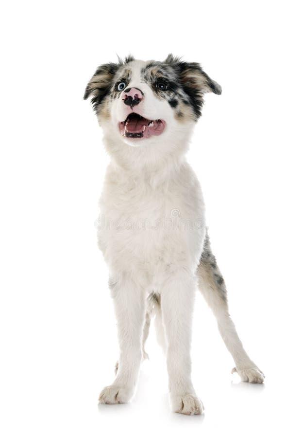 Border collie del perrito fotografía de archivo libre de regalías
