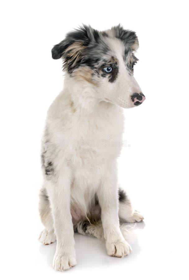 Border collie del perrito foto de archivo libre de regalías