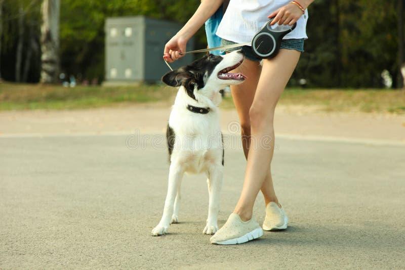 Border collie del perro imagenes de archivo