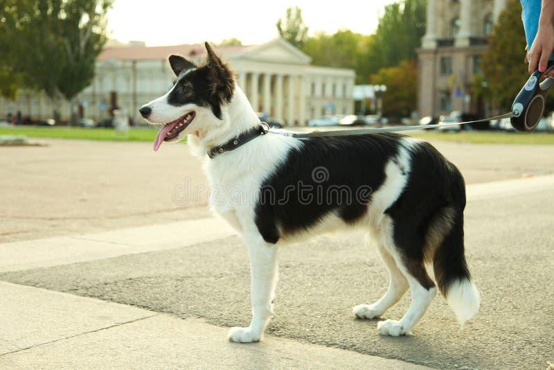 Border collie del perro imagen de archivo