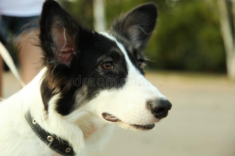 Border collie del perro fotos de archivo libres de regalías