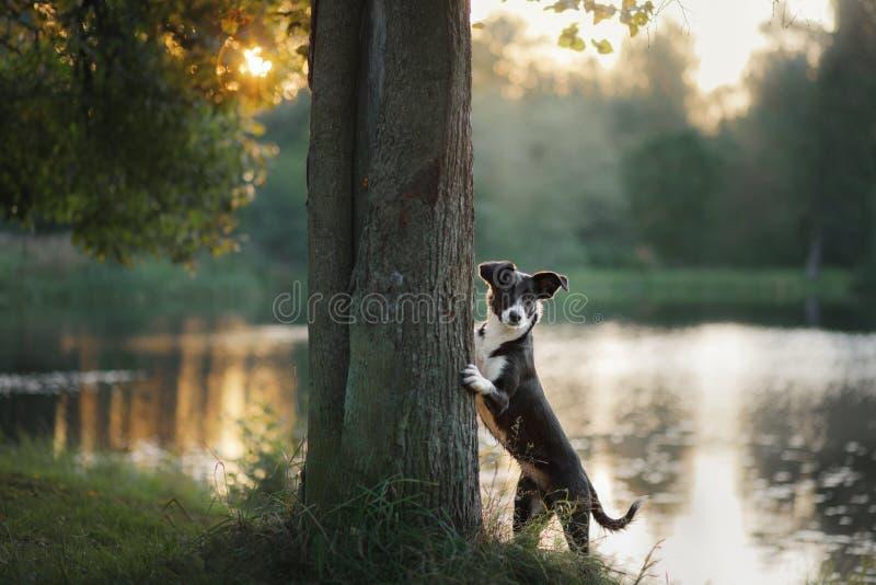 Border collie del perro en el árbol imagenes de archivo