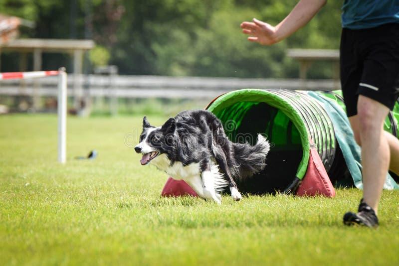 Border collie del perro en tunel de la agilidad Con el mejor controlador es fácil ganar fotografía de archivo