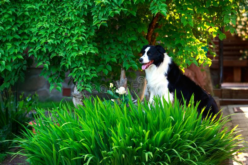 Border collie del perro fotografía de archivo libre de regalías