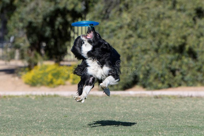 Border collie with a disc just out of reach. Border collie all four feet off the ground trying to catch a disc stock photos