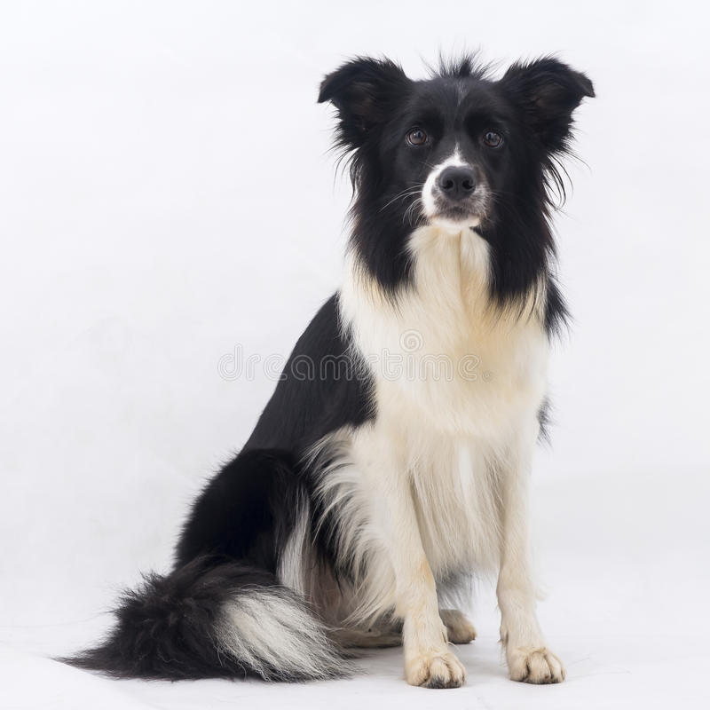 Free Border Collie Dog Stock Photo - 52078470
