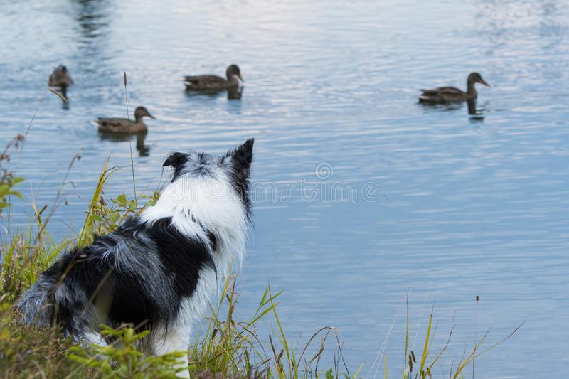 Border Collie dog is watching ducks on a lake royalty free stock photo