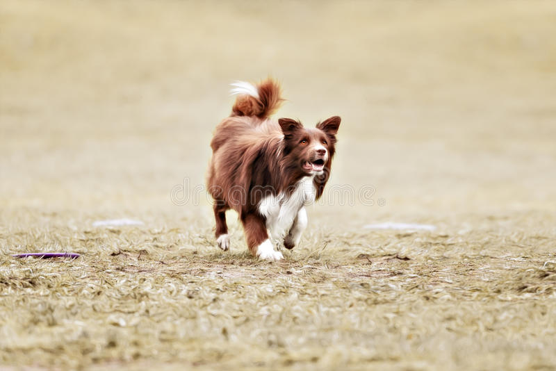 Border collie dog catching frisbee royalty free stock photos