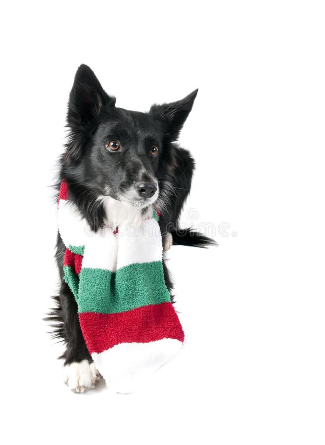 Border Collie Dog in Holiday Christmas Scarf isolated on white. Cute Black and White Border Collie Dog in Christmas Holiday scarf isolated on white looking at stock images