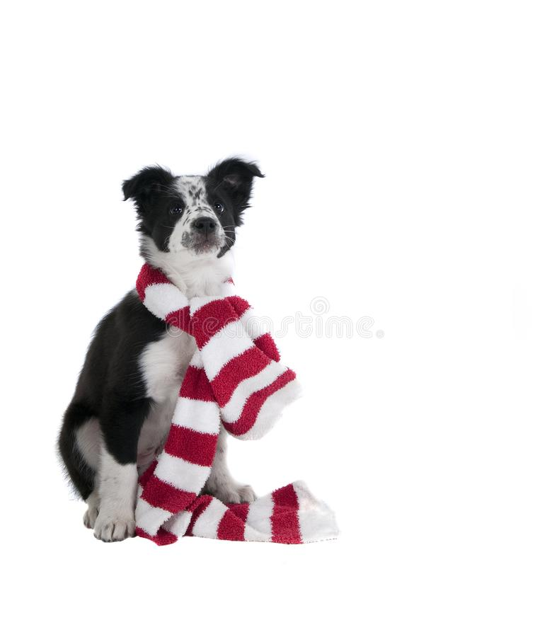 Border Collie Dog in Holiday Christmas scarf isolated on white. Cute Black and White Border Collie Puppy Dog in Christmas Holiday scarf isolated on white looking stock photography
