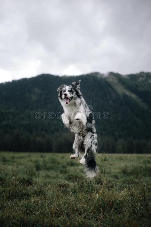 Border collie dog jumps high in the sky with mountains background royalty free stock image