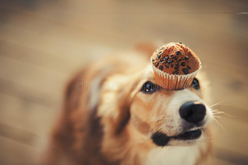 Border collie dog keeps cake on her nose stock photo