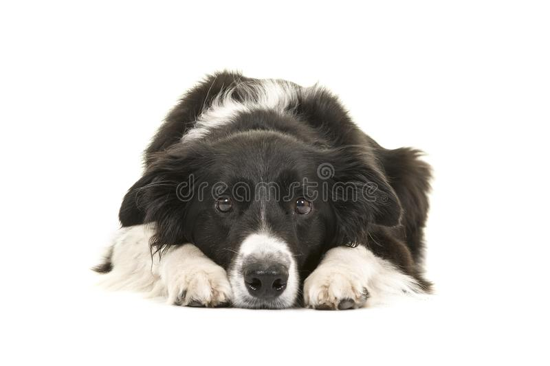 Border collie dog lying down with its head on the floor looking royalty free stock photo