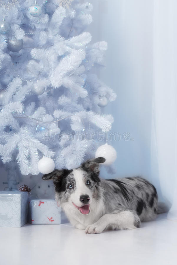 Border collie dog lying down on white Christmas. Lights with colorful bokeh sparkling lights in background looking hopeful wishful believing celebratory stock photos