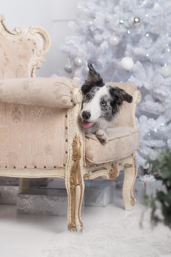 Border collie dog lying down on white Christmas royalty free stock image
